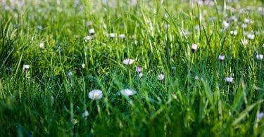 Se débarrasser de la mauvaise herbe dans le gazon
